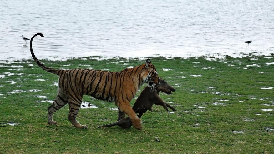 FILE - In this Wednesday, June 10, 2015 file photo, a Royal Bengal tiger drags a wild boar after killing it at the Ranthambhore national park in Sawai Madhopur, Rajasthan, India. Conservationists say at least 41 tigers have died in the first seven months of this year despite awareness campaigns across India to save the big cats. (AP Photo/Deepak Sharma, File)