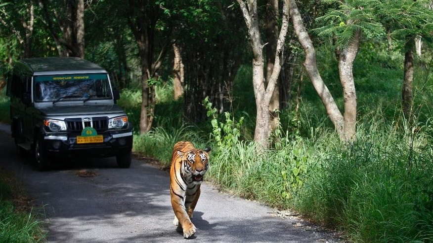 FILE - In this Wednesday, July 29, 2015 file photo, a Bengal tiger walks along a road ahead of a vehicle on Global Tiger Day in the jungles of Bannerghatta National Park, 25 kilometers (16 miles) south of Bangalore, India. Conservationists say at least 41 tigers have died in the first seven months of this year despite awareness campaigns across India to save the big cats. (AP Photo/Aijaz Rahi, File)