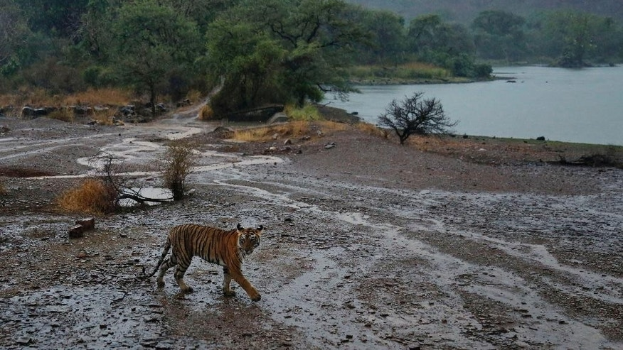 FILE - In this Wednesday, June 10, 2015 file photo, a Royal Bengal tiger walks after pre monsoon showers at the Ranthambhore national park in Sawai Madhopur, Rajasthan, India. Conservationists say at least 41 tigers have died in the first seven months of this year despite awareness campaigns across India to save the big cats. (AP Photo/Deepak Sharma, File)