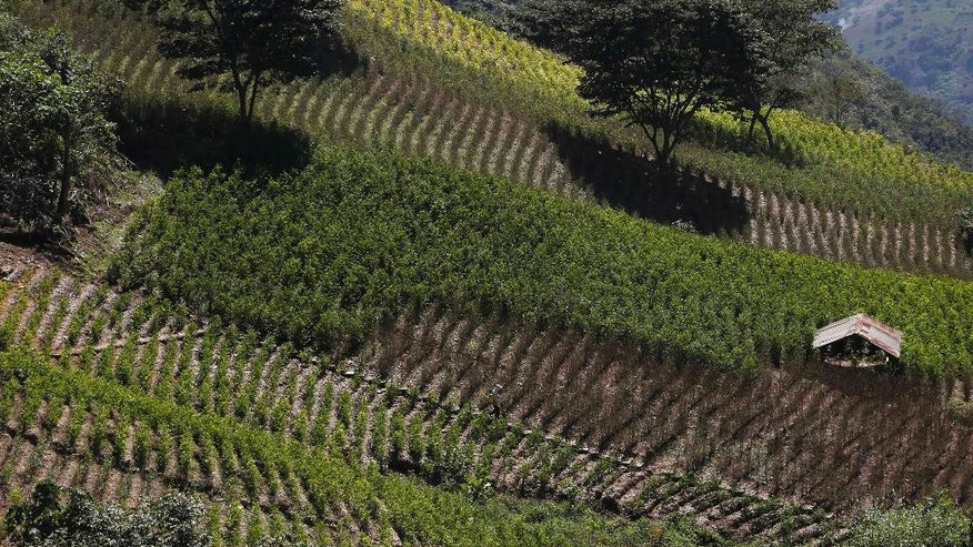 FILE - This June 7, 2015 file photo shows a coca farm in Huancane, Bolivia. The area under coca cultivation in Bolivia fell 11 percent in 2014 and eradication has cut it by a third since 2010, according to top U.N. drugs and crime agency official in Bolivia, Antonino De Leo, who presented the report on Monday, Aug. 17, 2105 with Bolivia's President Evo Morales. Bolivia's approach allows select growers limited acreage. (AP Photo/Juan Karita, File)