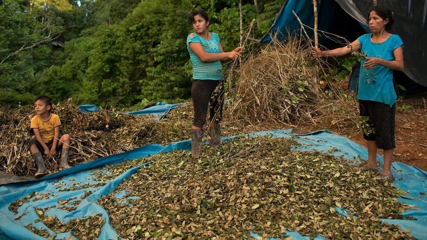 "In this July 18, 2015 photo, Edma Duran, right, works with her children Miguelina Diego and Jack Diego to salvage the still sellable coca leaves after their crop was torn out by the government two days before in Nuevo Canaveral, Peru. Thefamily plannedto sell the usable but damaged coca leaves below market price. ""This is what we live off,"" says the 40-year-old mother of six. (AP Photo/Rodrigo Abd)"