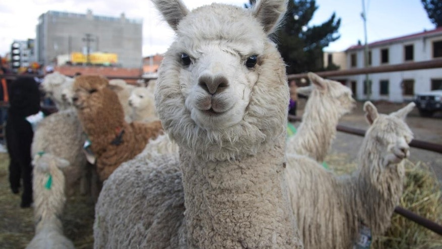 An alpaca with partially regrown hair stands with others during the annual Camelid Expo fair in El Alto, Bolivia, Sunday, Aug. 16, 2015. The herding of cameloids like alpacas, llamas and vicunas has been a major highland activity since 4000 B.C., providing indigenous civilizations with a reliable and sustainable supply of wool, meat, fertilizer and heat. (AP Photo/Juan Karita)