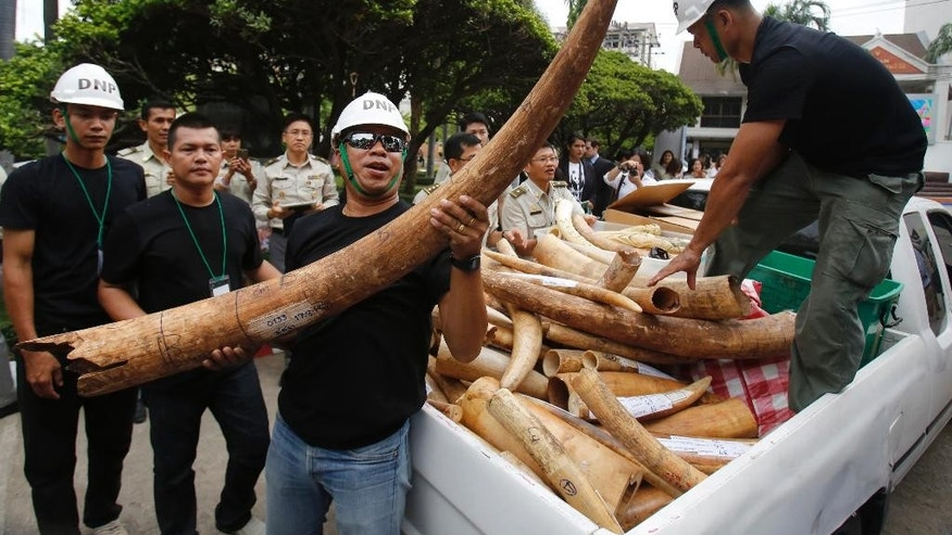 A Thai official holds seized elephant tusks to be displayed before its destruction in Bangkok, Thailand, Wednesday, Aug. 26, 2015.  Thailand's Prime Minister Prayuth Chan-ocha  and a delegation of officials on Wednesday attended a ceremony to destroy two tons of confiscated ivory in Bangkok.  (AP Photo/Sakchai Lalit)