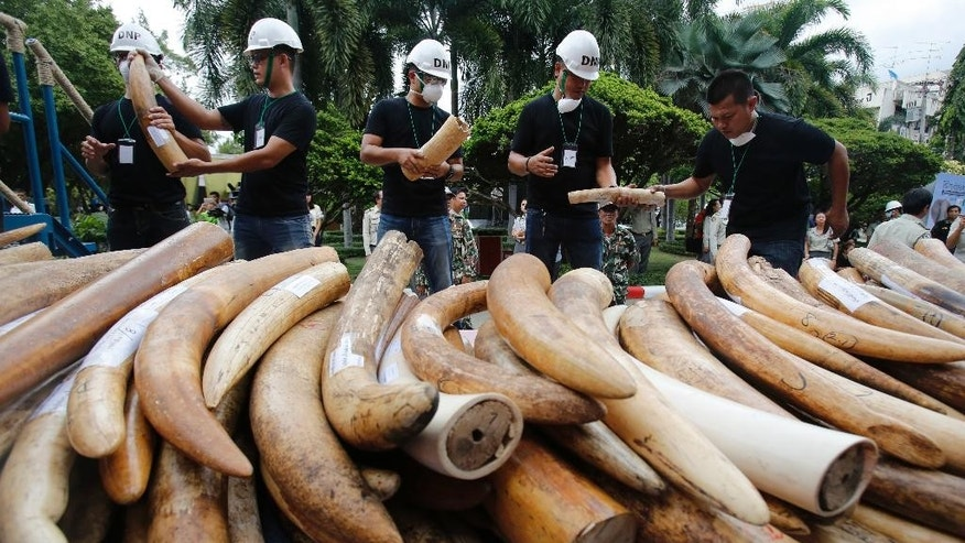Thai officials pass along seized ivory tusks to crushing machine in Bangkok, Thailand, Wednesday, Aug. 26, 2015. Thai authorities destroyed more than 2 tons of seized and smuggled ivory on Wednesday, the latest move by the government to avoid possible economic sanctions over its perceived failure to tackle the illicit trade.(AP Photo/Sakchai Lalit)