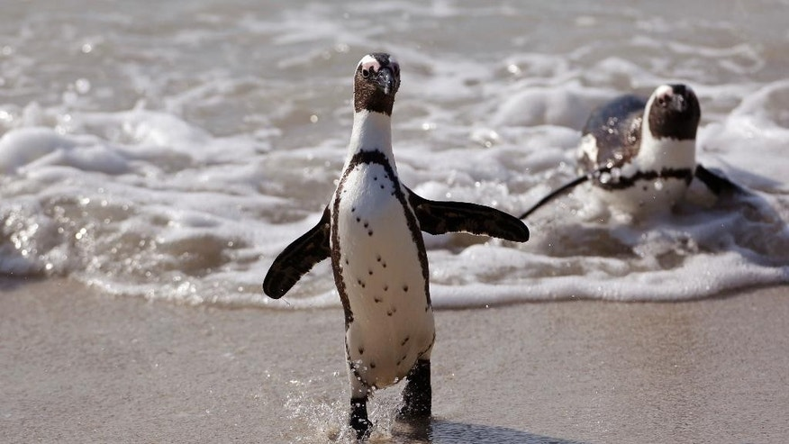 A Penguin runs out of the ocean after swimming with other penguins at Boulders beach a popular tourist destination in Simon's Town, South Africa, Thursday, Aug. 27, 2015.  The penguins on South Africa's west coast are a big tourist attraction, but their numbers have declined and scientists are still debating whether fishing has helped push the species to the brink of extinction. (AP Photo/Schalk van Zuydam)