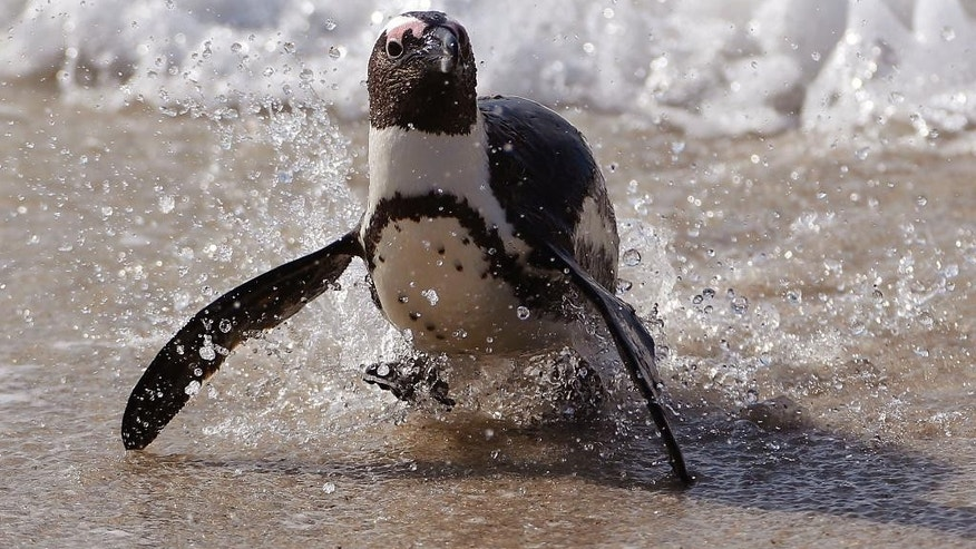 A Penguin runs out of the ocean after swimming at Boulders beach a popular tourist destination in Simon's Town, South Africa, Thursday, Aug. 27, 2015.  The penguins on South Africa's west coast are a big tourist attraction, but their numbers have declined and scientists are still debating whether fishing has helped push the species to the brink of extinction. (AP Photo/Schalk van Zuydam)