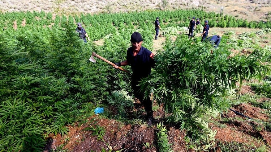 In this photo taken on Thursday Aug. 25, 2015, a police officer carries cannabis plants  in Kurvelesh commune, 200 kilometers (125 miles) south of the Albanian capital, Tirana. Albanian police found and destroyed some 16,000 cannabis plants and arrested a suspect. So far half a million cannabis plants have been destroyed since the government set fighting drug cultivation and trafficking as a top priority. (AP Photo/Hektor Pustina)