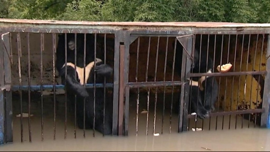 In this image taken from video two bears stand in a flooded cage at a zoo in the city of Ussuriysk eastern Russia Monday Aug. 31, 2015. The flood  swept through a private zoo in Russia's Far East, trapping 14 brown bears and a lion in their half-submerged cages. (AP Photo/RTR) RUSSIA OUT