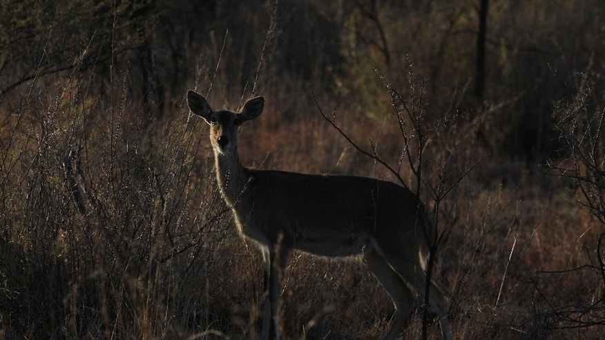 In this photo taken Monday Aug. 17, 2015, a buck is seen in the bush at dusk at Melorani Safaris at Olifantsvallei, South Africa. In 1986 the landowner, Stewart Dorrington, turned his family cattle ranch, a three-hour drive north east of Johannesburg, into a wildlife reserve where he hosts about two-dozen bow and arrow hunters a year. (AP Photo/Denis Farrell)