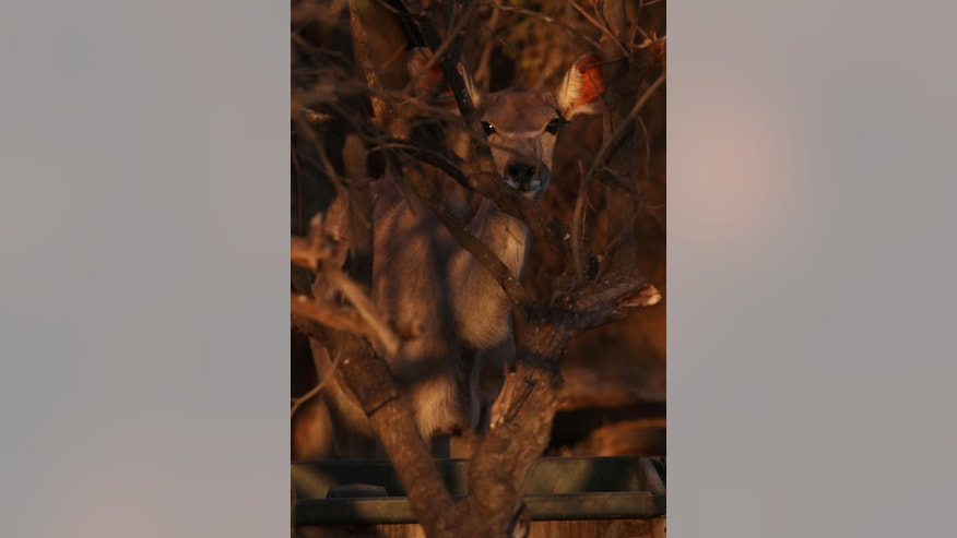 In this photo taken Monday Aug. 17, 2015, a buck is seen in the bush at dusk at Melorani Safaris at Olifantsvallei, South Africa. In 1986 the landowner, Stewart Dorrington, turned his family cattle ranch , a three-hour drive north-east of Johannesburg, into a wildlife reserve where he hosts about two-dozen bow and arrow hunters a year. (AP Photo/Denis Farrell)