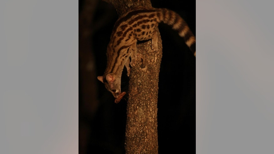 In this photo taken Monday Aug. 17, 2015, a genet makes off with a piece of meat, placed in a tree, outside the dining area at Melorani Safaris at Olifantsvallei, South Africa where visiting bow and arrow hunters dine on the meat of elands, impalas, warthogs  and other animals in an African safari experience. In 1986 the landowner, Stewart Dorrington, turned his family cattle ranch, a three-hour drive north east of Johannesburg, into a wildlife reserve where he hosts about two-dozen bow and arrow hunters a year. (AP Photo/Denis Farrell)
