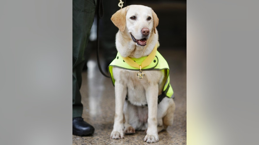 Mona, a drug-sniffing dog, sits after being decorated with a medal for detecting hidden narcotics, during a media presentation of seized cocaine, in Bogota, Colombia, Monday, Sept. 7, 2015. Police in Bogota's El Dorado airport were tipped off when Mona detected the narcotics hidden in 48 boxes of a 1-ton cargo shipment bound for a company in the Mexican state of Sinaloa. Authorities quickly alerted their Mexican counterparts who then found a similar amount in a flight a few hours earlier to Mexico City. (AP Photo/Fernando Vergara)