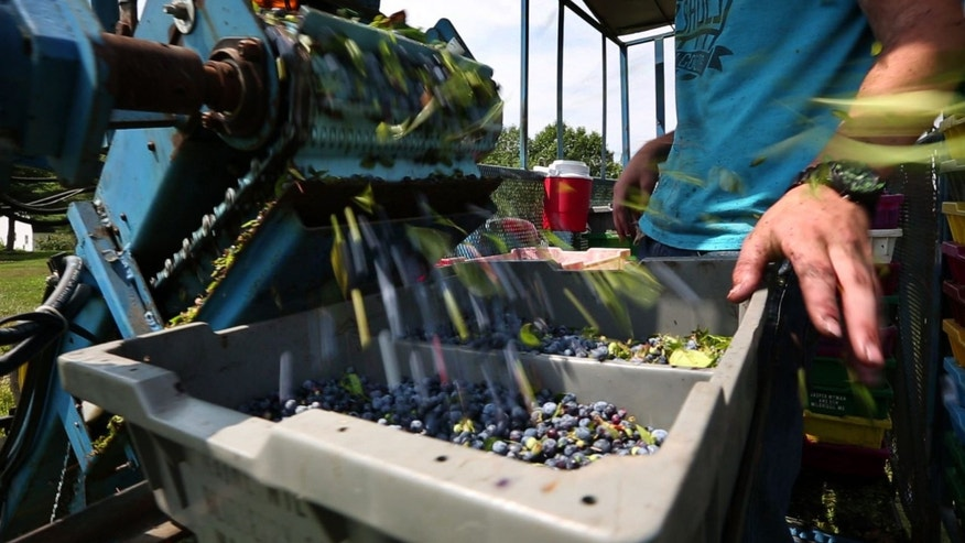 FILE - In this Thursday, July 30, 2015 file photo, blueberries fill a tray on a harvester in a field near Appleton, Maine. Some farms report a decrease of more than half in the number of migrant workers they employed compared to just a few years ago due to the increased use of mechanical harvesters. (AP Photo/Robert F. Bukaty)