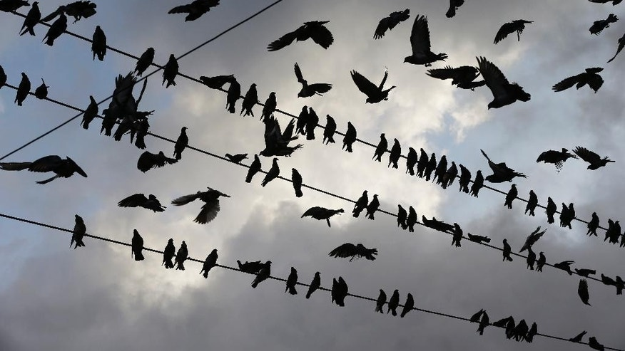 A congregation of birds are silhouetted against a morning sky, in Paraguachon, Colombia, Wednesday, Sept. 9, 2015. Venezuelan President Nicolas Maduro has expanded an anti-smuggling offensive along the country's frontier with Colombia, and ordered another main crossing, this one in Paraguachon, closed Monday night as part of a two-week-old anti-smuggling offensive. (AP Photo/Fernando Vergara)