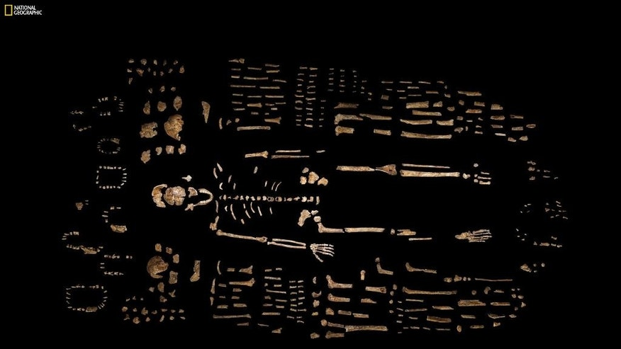"This photo provided by National Geographic from their October 2015 issue shows a composite skeleton of Homo naledi surrounded by some of the hundreds of other fossil elements recovered from the Rising Star cave in South Africa, photographed at the Evolutionary Studies Institute of the University of the Witwatersrand in Johannesburg, South Africa. In an announcement made Thursday, Sept. 10, 2015, scientists say the fossils revealed the new member of the human family tree. The expedition team was led by Lee Berger of the university. (Robert Clark/National Geographic, Lee Berger/University of the Witwatersrand via AP) IMAGE MUST INCLUDE NATIONAL GEOGRAPHIC LOGO; CROPPING NOT PERMITTED; MANDATORY CREDIT: ""ROBERT CLARK/NATIONAL GEOGRAPHIC, LEE BERGER/UNIVERSITY OF THE WITWATERSRAND"""