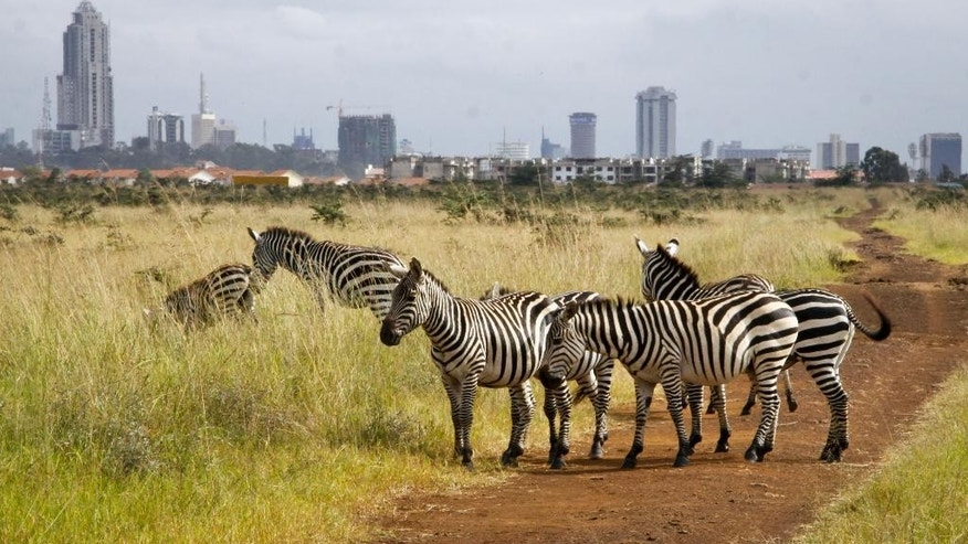 In this photo taken Thursday, July 30, 2015,  the city skyline is seen behind a group of zebras in the Nairobi National Park in Nairobi, Kenya. In Nairobi National Park, lions, rhinos and other animals roam just six miles (10 kilometers) from downtown Nairobi, but the carefully managed co-existence of wildlife and city life is constantly vulnerable to the pressures of urban expansion. (AP Photo/Khalil Senosi)