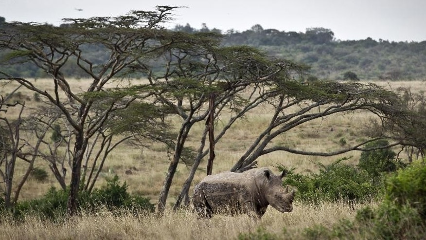 FILE - In this Thursday, Sept. 20, 2012 file photo, a white rhino grazes in Nairobi National Park, Kenya. In Nairobi National Park, lions, rhinos and other animals roam just six miles (10 kilometers) from downtown Nairobi, but the carefully managed co-existence of wildlife and city life is constantly vulnerable to the pressures of urban expansion. (AP Photo/Ben Curtis, File)