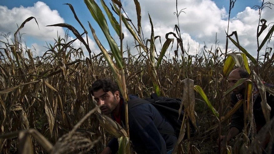 Syrian refugee men hide from the Hungarian police in a cornfield to avoid having their fingerprints taken, after crossing the Serbian-Hungarian border near Roszke, southern Hungary, Saturday, Sept. 12, 2015. Hundreds of thousands of Syrian refugees and others are still making their way slowly across Europe, seeking shelter where they can, taking a bus or a train where one is available, walking where it isn't. (AP Photo/Muhammed Muheisen)