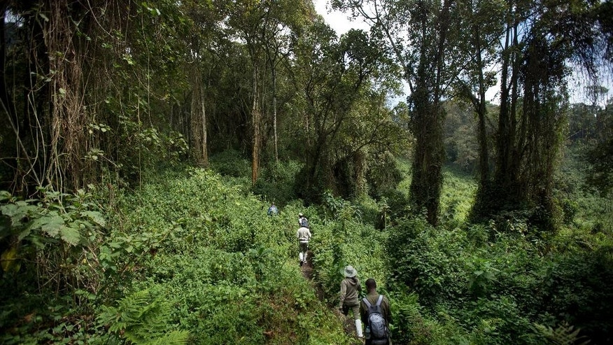 In this photo taken Friday, Sept. 4, 2015, tourists climb through dense vegetation and forest to see the mountain gorillas on Mount Bisoke volcano in Volcanoes National Park, northern Rwanda. Deep in Rwanda's steep-sloped forest, increasing numbers of tourists are heading to see the mountain gorillas, a subspecies whose total population is an estimated 900 and who also live in neighboring Uganda and Congo, fueling an industry seen as key to the welfare of the critically endangered species as well as Rwanda's economy. (AP Photo/Ben Curtis)