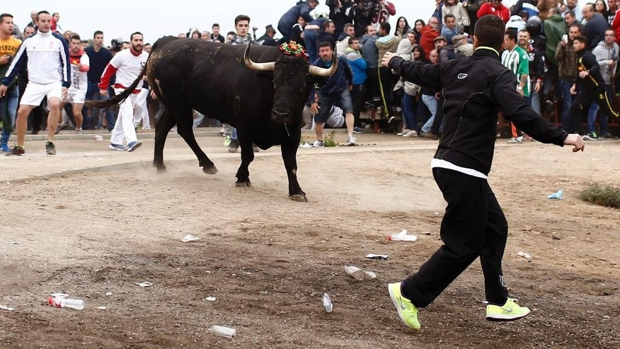 Men run next to a bull during the 'Toro de la Vega' bull spearing festival in Tordesillas, near Valladolid, Spain, Tuesday, Sept. 15, 2015. Men on horseback chased down a bull and speared it to death during the annual Toro de la Vega festival reviled by animal rights activists who turned out by the hundreds to protest the event.  Scuffles broke out Tuesday between activists and the festival's more numerous supporters before the bull, weighing more than half a ton, was released in the north central town of Tordesillas.  (AP Photo/Oscar del Pozo)