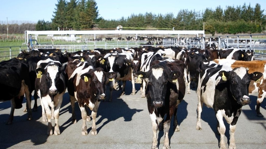 In this Aug. 28, 2015 photo photo, cows stand in a pen before they are milked on Chris Engel's dairy farm near Carterton, New Zealand. Dairy farmers like Engel have found their businesses have rapidly gone from booming to unprofitable as the world started producing more milk and Chinese demand weakened. (AP Photo/Nick Perry)