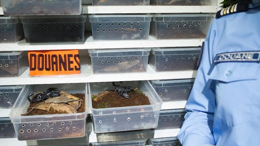 A customs officer stands beside boxes containing scorpions (Pandinus Dictator) during a press conference in Paris, France, Thursday, Oct. 1, 2015. On Sept.18 and 22 2015,  115 scorpions, a protected species, were seized at Paris Charles de Gaulle airport coming from Cameroon and going to the United States. Douanes stands for Customs (AP Photo/Jacques Brinon)