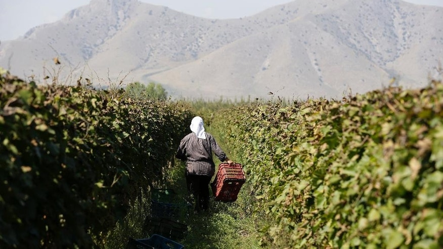 In this photo taken on  Monday, Oct. 5, 2015, an Albanian worker holds a cart at a vineyard in Tirnavos, central Greece. The European Union has given Greece two months to double taxes on tsipouro, arguing it does not have the right to keep a reduced duty that is reserved for some traditionally made products. It also wants Athens to crack down on small independent producers who pay a low tax rate that is aimed at helping small producers but is now widely abused for bulk supply to small restaurants nationally. (AP Photo/Thanassis Stavrakis)