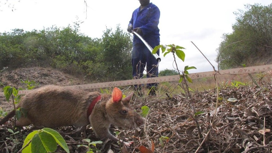 In this photo taken Wednesday Oct. 7, 2015  a rat sniffs for explosives while being watched by its handler at the former military depot at Malhazine, a densely populated neighborhood in the Mozambican capital of Maputo.  A non-governmental group called APOPO  Anti-Personnel Landmines Detection Product Development has trained rats to use their powerful sense of smell to detect TNT. The rats were used to help in demining operations in Mozambique and are now searching for old ammunition left over from accidental explosions at Malhazine that killed more than 100 people in 2007. (AP Photo/Ilec Vilanculo)