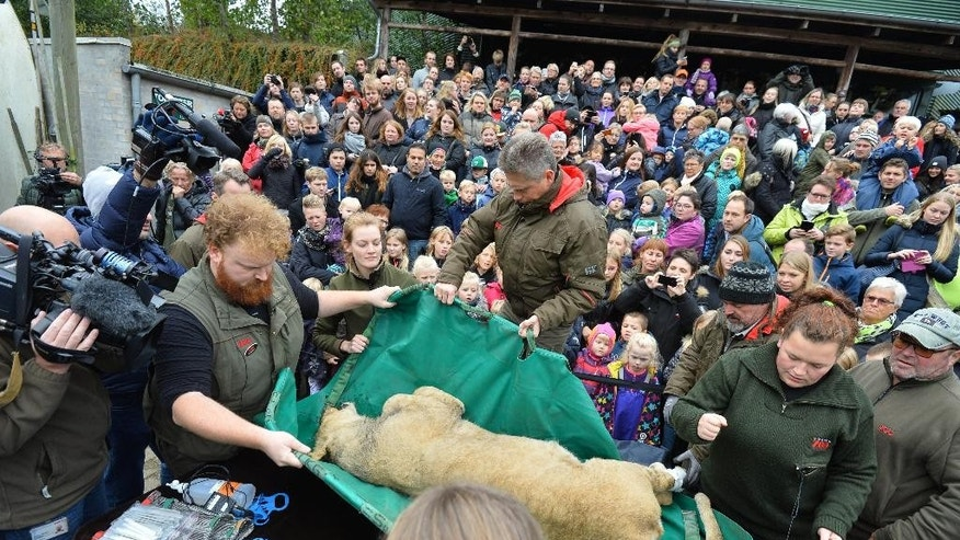 A dead male lion is carried to the table to be prepared for public dissection in front of children in Odense Zoo, Denmark, Thursday, Oct 15, 2015. This year the zoo has killed three of its lions, saying they had failed to find new homes for them despite numerous attempts. (Ole Frederiksen/Polfoto via AP)  DENMARK OUT