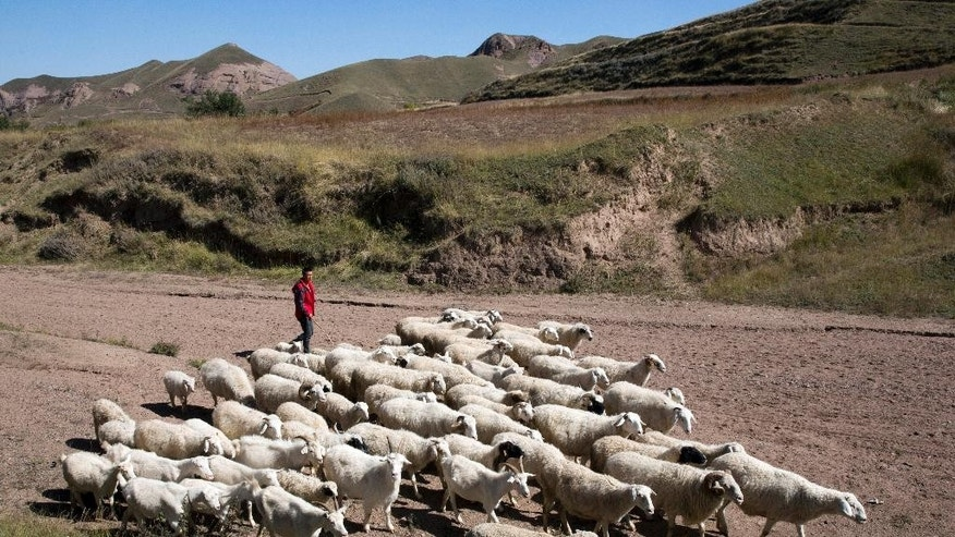 In this photo taken Oct. 9, 2015,  Yang Jingrong herds his sheep home in Dacha village of Xiji county in northwestern China's Ningxia Hui autonomous region. Most former residents of Dacha have moved under a government plan to relocate 350,000 people to lift them out of grinding poverty which, for their region, has been worsened by an increase in average temperatures of 2.2 degrees Celsius (4 degrees Fahrenheit) over the past half-century that leaves the land more parched. (AP Photo/Ng Han Guan)