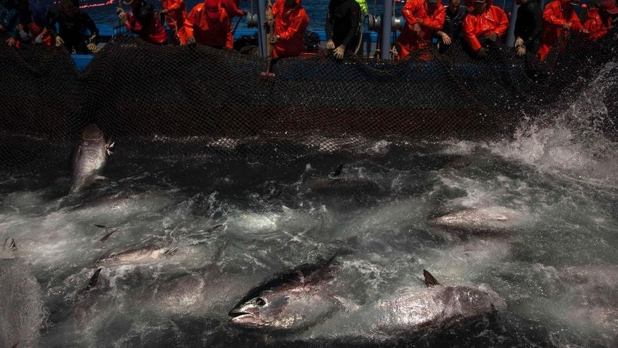 FILE - In this Wednesday, April 27, 2011 file photo, Atlantic bluefin tuna are surrounded by fishing nets during the opening of the season for tuna fishing off the coast of Barbate, Cadiz province, southern Spain. The European Union is looking into reports that cheap seafood is often mislabeled as choice fish in some of the Belgian capital's fine restaurants and even in EU cafeterias. The Oceana environmental group said Tuesday, Nov. 3, 2015 it found that 31.8 percent of seafood it tested in and around EU institutions in Brussels was a different fish than what was labeled on the menu. Oceana said 95 percent of what was labeled Bluefin tuna — a fatty, sublime sushi favorite — was actually a less expensive species, served to make a hefty profit.  (AP Photo/Emilio Morenatti, File)