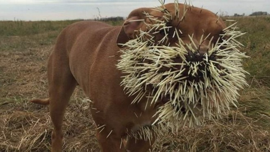 Nestah was taken to a vet after porcupine quills pierced her heart and lungs.