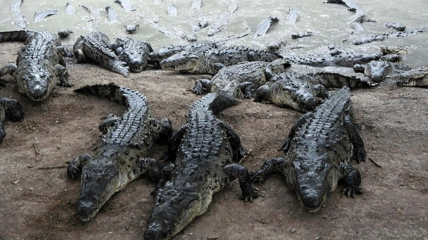 Crocodiles climb a mud bank toward workers, at a farm owned by the Rosenthal family in San Manuel Cortes, northern Honduras, Wednesday, Nov. 4, 2015. Thousands of crocodiles on the private farm have been poorly fed because of a lack of resources, according to authorities and employees at the property, after the bank accounts of the Rosenthal family were seized during a probe into accusations they were operating a money laundering network linked to drug trafficking. Farm employees said the animals went without food for more than a month, but were finally fed over the weekend thanks to donations. (AP Photo/Fernando Antonio)