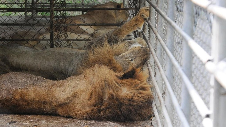 Lions lay on the ground, inside cages at a farm owned by the Rosenthal family in San Manuel Cortes, northern Honduras, Wednesday, Nov. 4, 2015. Twelve mammals, including lions and monkeys, along with thousands of crocodiles on the private farm, have been poorly fed because of a lack of resources, according to authorities and employees at the property, after the bank accounts of the owners were seized during a probe into accusations they were operating a money laundering network linked to drug trafficking. Farm employees said the animals went without food for more than a month, but were finally fed over the weekend thanks to donations. (AP Photo/Fernando Antonio)