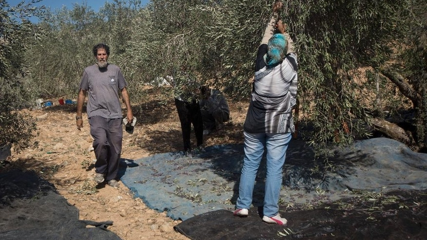 In this Sunday, Nov. 1, 2015 photo, Israeli activist Rabbi Arik Ascherman, walks in a Palestinian olive grove during the harvest, in the village of Burin near the West Bank city of Nablus. Ascherman's right middle finger is still bandaged from a recent confrontation in the West Bank, when a suspected extremist Jewish settler lurched at him with a knife, punching and kicking him as he was helping Palestinian farmers harvest their olives. Almost two weeks after the attack, no arrests have been made -- part of what critics say is a culture of impunity for extremist settlers that is also factoring in the nearly two-month wave of violence roiling the region. (AP Photo/Majdi Mohammed)