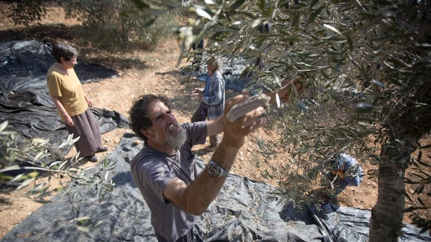 In this Sunday, Nov. 1, 2015 photo, Israeli activist Rabbi Arik Ascherman helps Palestinians harvest olives in the village of Burin near the West Bank city of Nablus. Ascherman's right middle finger is still bandaged from a recent confrontation in the West Bank, when a suspected extremist Jewish settler lurched at him with a knife, punching and kicking him as he was helping Palestinian farmers harvest their olives. Almost two weeks after the attack, no arrests have been made -- part of what critics say is a culture of impunity for extremist settlers that is also factoring in the nearly two-month wave of violence roiling the region. (AP Photo/Majdi Mohammed)
