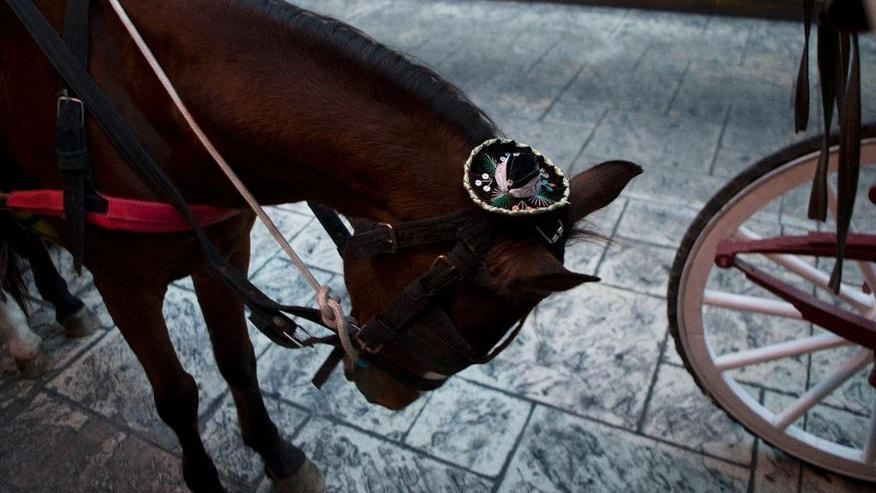 A horse wearing a miniature Mexican Charro hat dips its head as it waits in a line of tourist horse cart stands, outside the Yucatan State Government Palace where Mexican President Enrique Pena Nieto will meet Friday with Cuban President Raul Castro, in Merida, Mexico, Thursday, Nov. 5, 2015. Mexicans are looking to increase trade with Cuba as the Cuban president makes his first state visit to Mexico, and the first such trip since relations between the two countries went cold in the early 2000s.(AP Photo/Rebecca Blackwell)