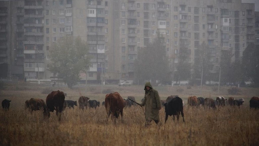 In this photo taken on Tuesday, Oct.  27, 2015, a man herds cows in a field near Yenakiieve, eastern Ukraine. The fighting has subsided, but Donetsk is quickly sinking into the past, a shabby Soviet-like state of empty streets and deprivation. Huge portraits of Josef Stalin hanging in the city center only reinforce the impression of failure. (AP Photo/Max Black)