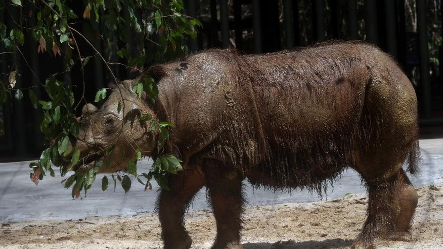An 8-year-old male Sumatran rhino named Harapan (hope) eats leaf inside a cage at Way Kambas National Park on Sumatra Island Indonesia, Thursday, Nov 5, 2015. (AP Photo/Tatan Syuflana)