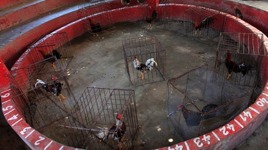 In this Sunday, Oct. 31, 2015 photo, roosters are seen inside their cages prior to a day of fighting in the closed Route Freres cockfighting arena in Petion-Ville, Haiti. Part of cockfighting's popularity is that it fits into Haiti's gambling culture, offering winnings to some spectators who struggle to live on $2 a day. (AP Photo/Ricardo Arduengo)