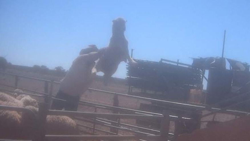 Video reveals abuse in wool industry.
