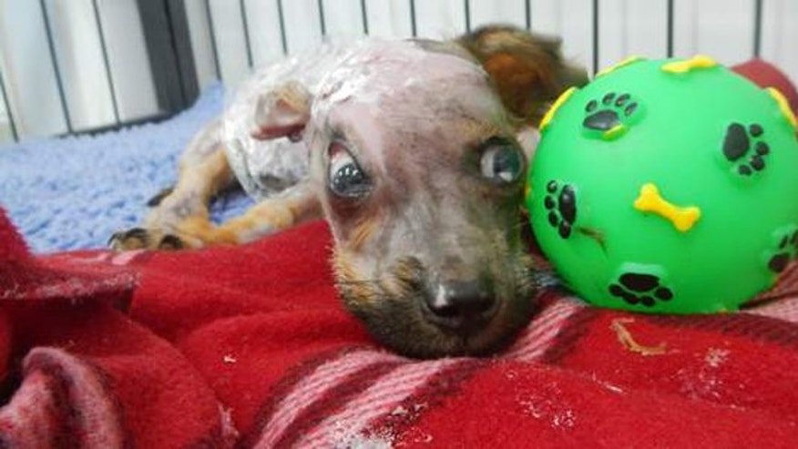 Puppy recovers after owner scalded him with boiling water and threw him from a fourth-floor window.