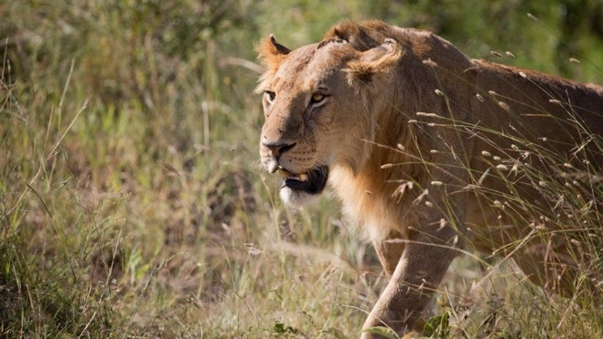 July 6, 2015: A lion prowls for potential prey in the afternoon near to a river in the Maasai Mara, south-western Kenya.