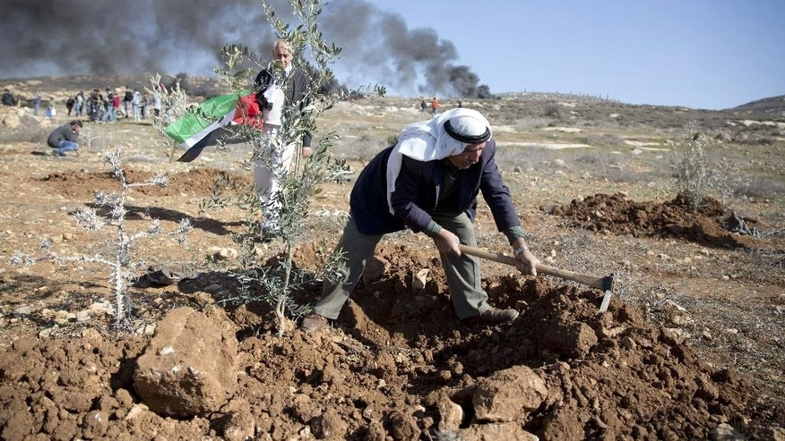 A Palestinian man plants an olive tree during demonstration on the anniversary of  of the death of Palestinian cabinet minister Ziad Abu Ain, who collapsed shortly after a protest on  Dec. 10, 2014, in the West Bank village of Turmus Aya, as demonstrators  clash with the troops near the village outside of Ramallah, Friday, Dec. 11, 2015. (AP Photo/Majdi Mohammed)