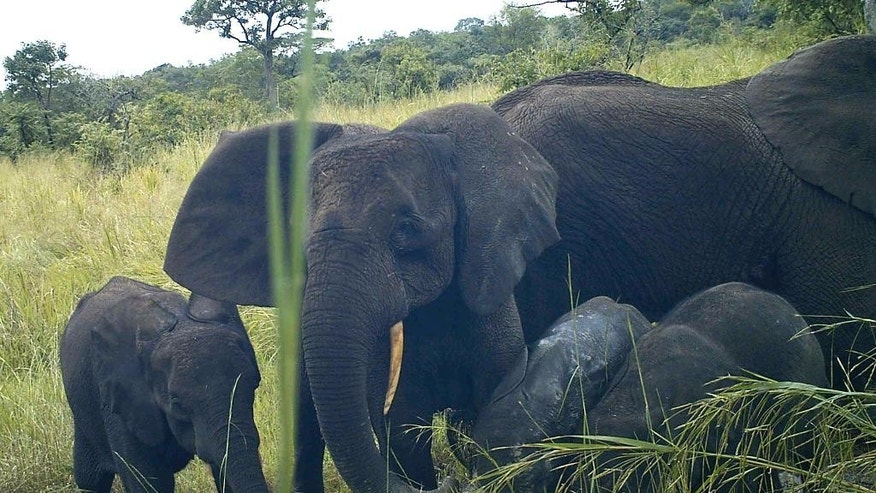 In this photo taken Thursday, Oct. 22, 2015 and released by Fauna & Flora International Friday, Dec. 11, 2015, rare African forest elephants (Loxodonta cyclotis) are seen by a remote-sensing camera, in Western Equatoria State, South Sudan. The critically endangered elephant species has been photographed by researchers for the first time in South Sudan, significantly expanding the known range of the animal, but even in these remote forests it faces threats from illegal logging and from war. (Fauna & Flora International via AP) ** NO ARCHIVING, NO LICENSING, MANDATORY CREDIT **