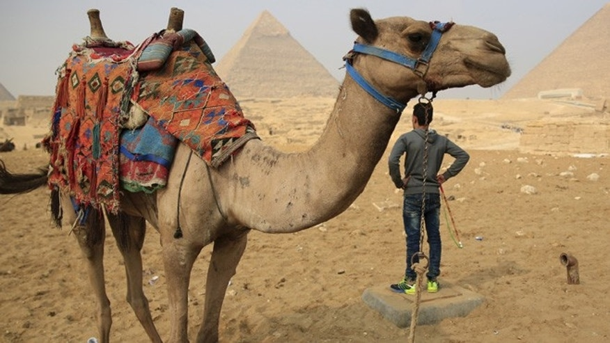 Nov. 2015: A camel walks in front of the Giza Pyramids in Egypt.