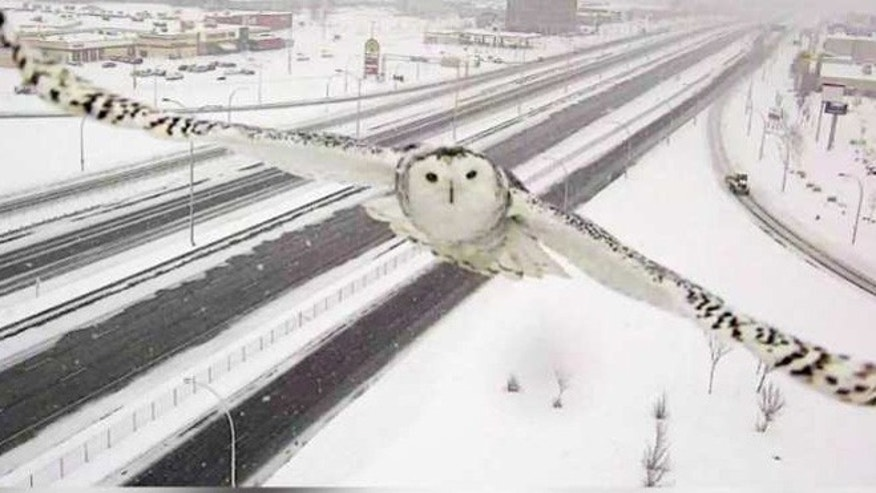 Snowy owl flys past Montreal traffic cam. (Quebec Transport Minister Robert Poëti)