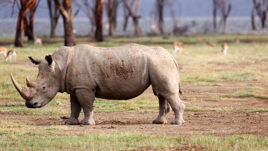 Aug. 20, 2015: White rhino grazes at Lake Nakuru National Park, Kenya. (Reuters)