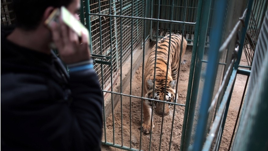 Jan. 10, 2016: Palestinian owner of the South Jungle Zoo, Mohammed Ouida, stands in front of the cage of the African tiger, in Rafah, southern Gaza Strip.