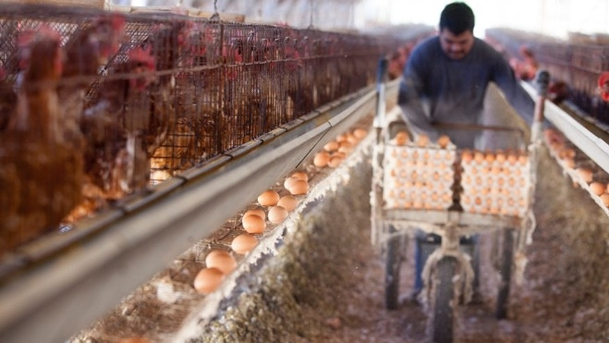 SAN DIEGO, CA - NOVEMBER 6: A farm worker collects eggs in an old-fashioned chicken house at an egg farm, on November 6, 2014 in San Diego, California. California voters passed an animal welfare law in 2008 to require that the state's egg-laying hens be given room to move around, but did not provide the funds for farmers to convert. (Photo by Melanie Stetson Freeman/The Christian Science Monitor via Getty Images)